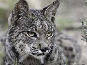say-goodbye-to-the-iberian-lynx