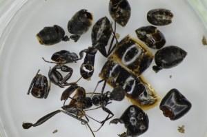 これは確かにクロオオアリの死体です