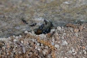 巣穴から外を伺う羽アリ