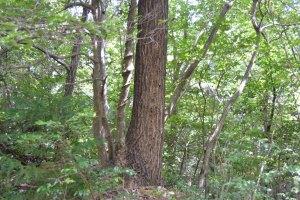 翅を落としたトゲアリの女王アリが下りてきた樹