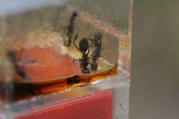 手前右から2体目が左の巣のクロオオアリ