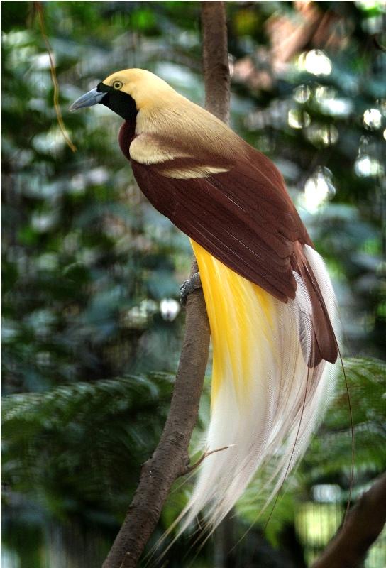 Keelokan Burung Cendrawasih hewan khas daerah Papua
