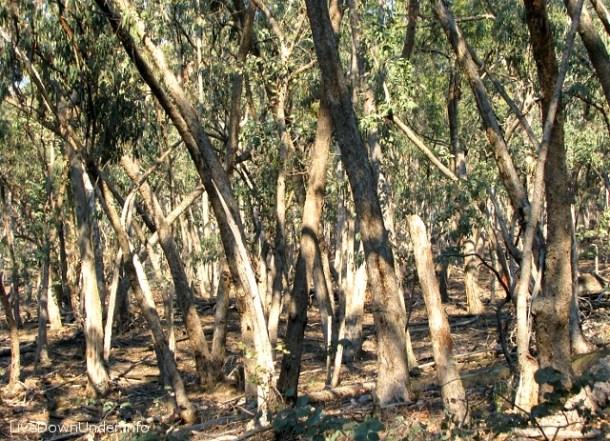 """Las australijski, suchoodporny i łatwopalny. Ozi mówią o nim: """"bush"""". Hepburn Springs, Wiktoria."""
