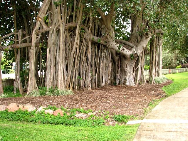 drzewo imponujące