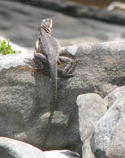 dragon, jaszczurki w Australii