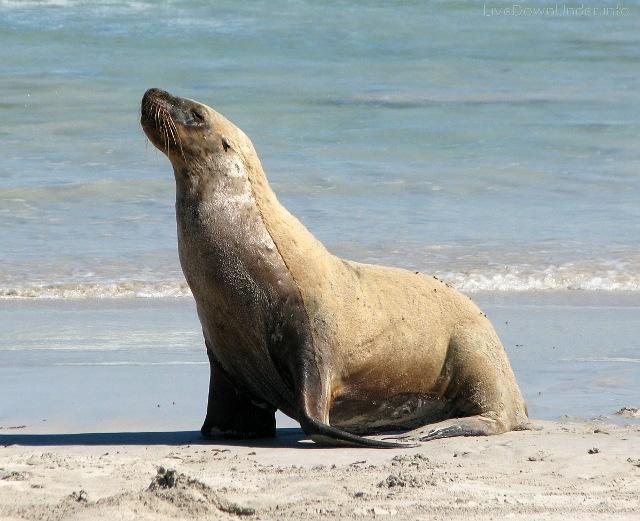 uchatka australijska, Seal Bay, Wyspa Kangura