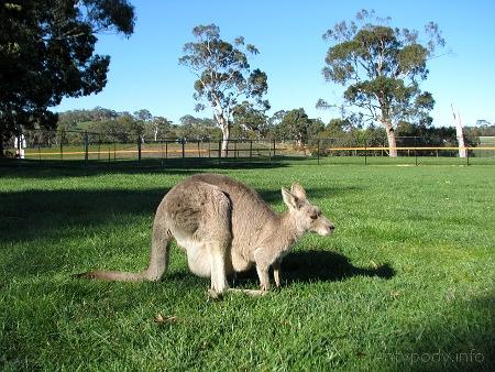 kangur u stóp Wiszącej Skały