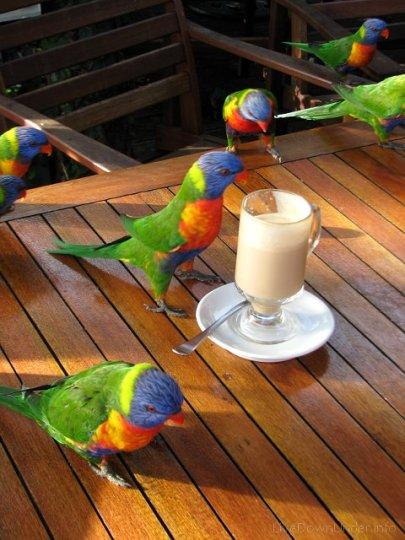 Lorikeets, Polish Place, Tamborine Mountain, papugi w Australii