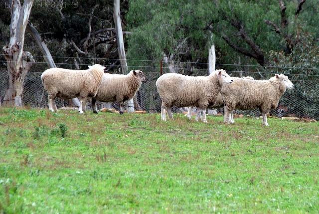Steiglitz, Wiktoria, owce