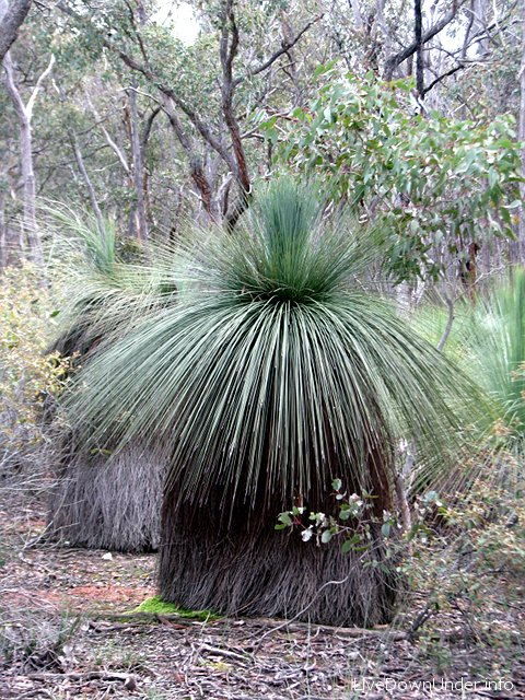 Brisbane Ranges National Park, sekcja Steiglitz, grass tree