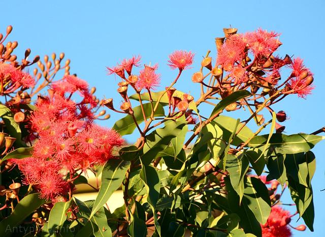 Kwitnące eukaliptusy, Melbourne, Australia