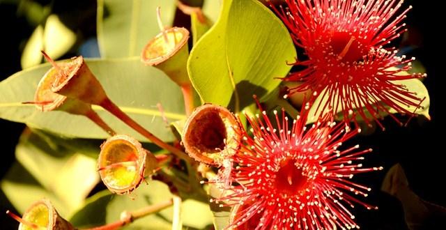KwitnÄ…ce eukaliptusy, Melbourne, Australia