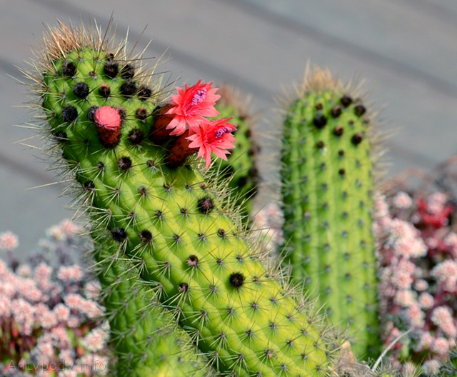 kaktus, Ogród Botaniczny w Melbourne, Australia
