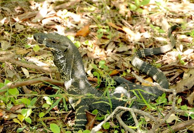 waran, Bournda National Park, NSW, Australia