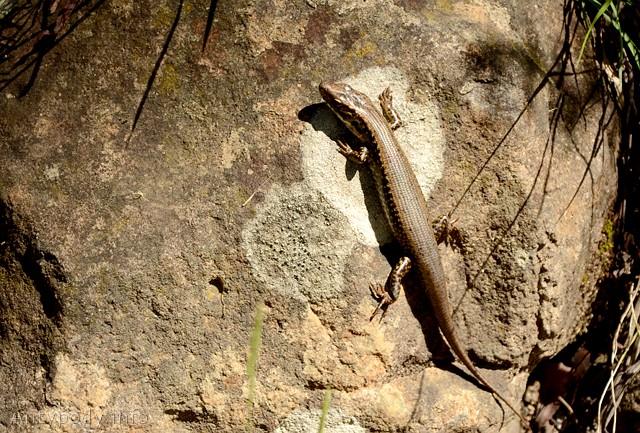 jaszczurki w australii, australijska jaszczurka, Tantawangalo State Forest, Wielkie Góry Wododziałowe, NSW, Australia