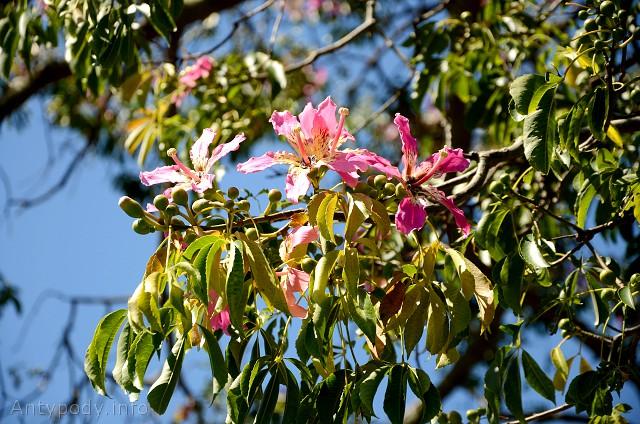Chorisia insignis, amerykańskie drzewo w Australii