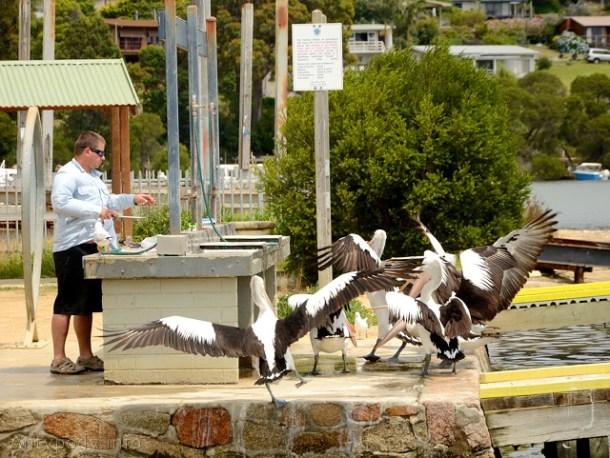 pelikany, Mallacoota, Australia