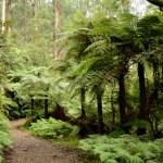 Badger Weir: zaczarowany las w Yarra Ranges