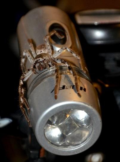 Huntsman - australijski pająk