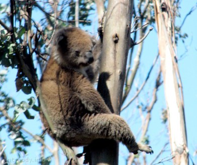 koala, Great Ocean Road