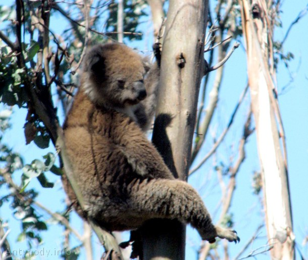 koala, Great Ocean Road