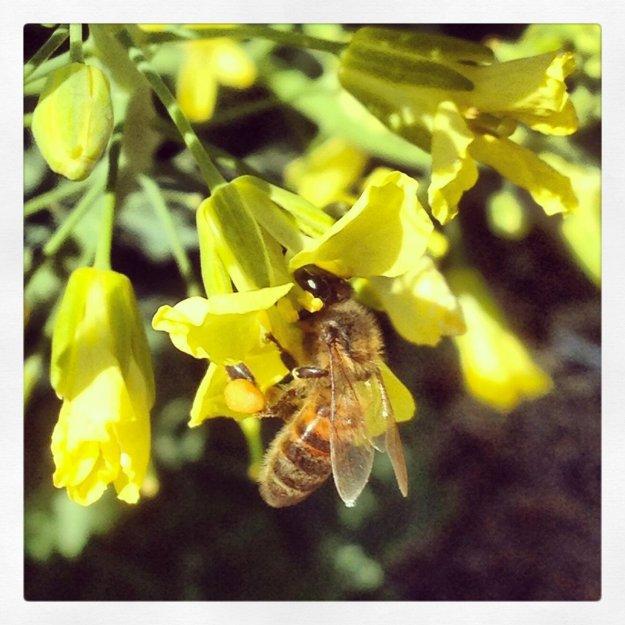Honey Bee on Kale Flowers