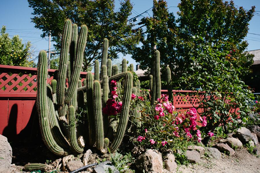Cactus in Sonoma