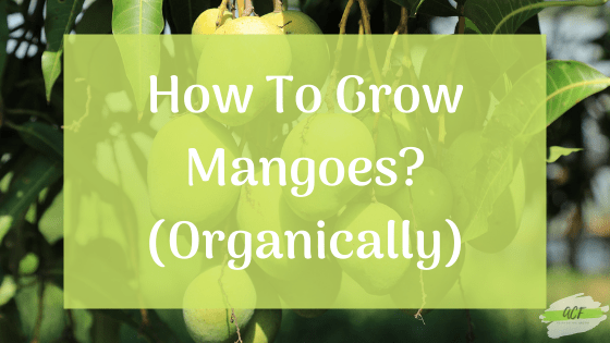 How to grow Mangoes easily?