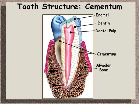 Difference Between Cementum Dentin Enamel ALVEOLAR BONE and Pulp