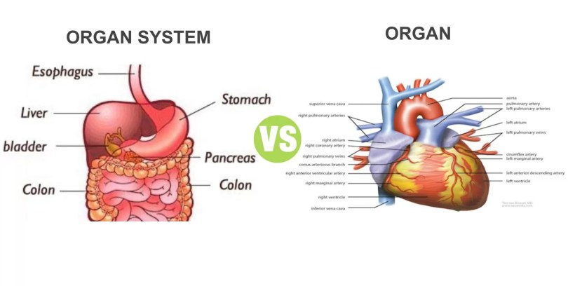 Difference Between Organ and Organ System