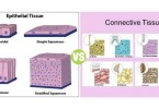 Difference Between Epithelial Tissue and Connective Tissue