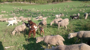 Lots of sheep and goats in the field today and some big angry dogs, little detour required