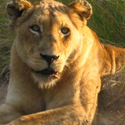 Lioness in African sun