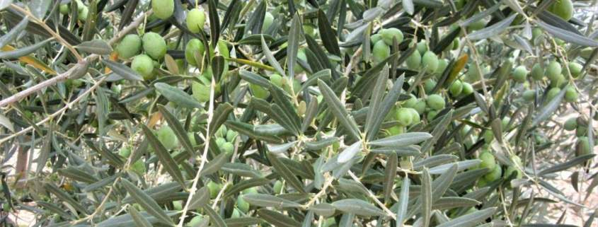 Almost ripe olives