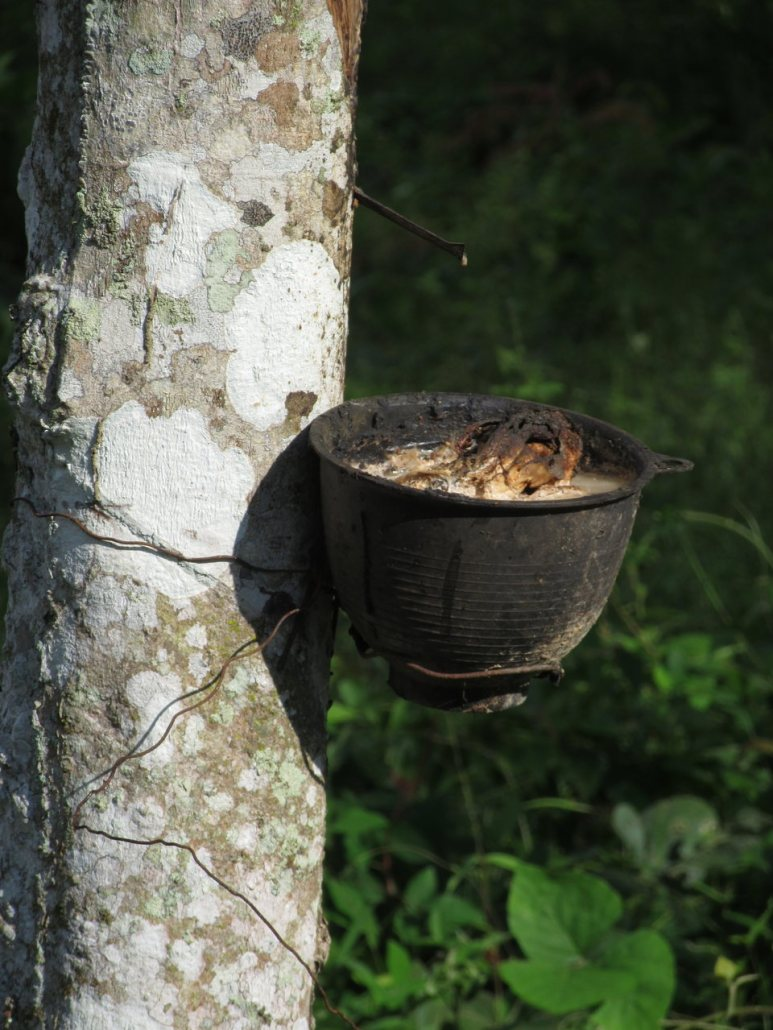 Rubber Tree Koh Yao Noi