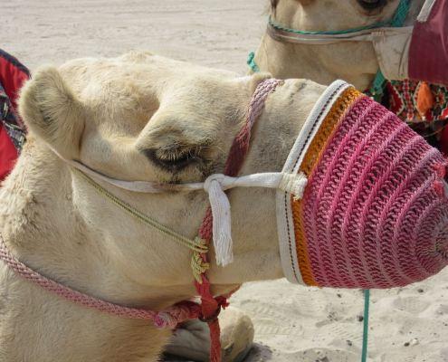 Doha camel