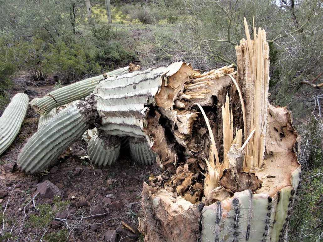 Inside of a fallen Saguora cactus near Casa Grande Ruins National Monument, Coolidge, AZ