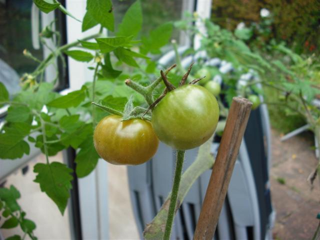 Spicy Green Tomato Chutney (1/3)
