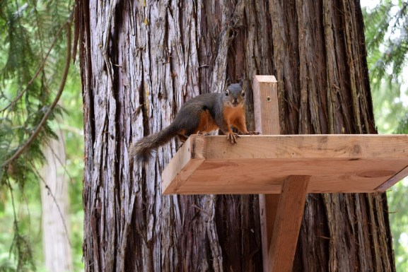 squirrel-1718302_1920