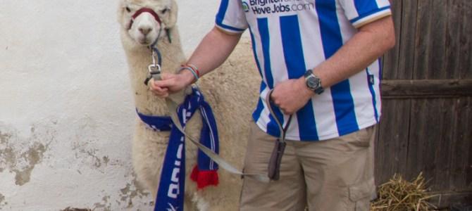 Gabi – The Alpaca who supports Brighton!