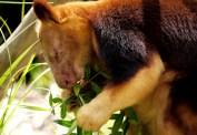 A Tree Kangaroo (better than Koalas...)