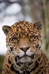 Amazona Zoo - Jaguar