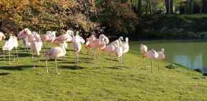 Flamingo flock at Banham Zoo