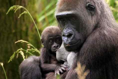 ZSL London Gorilla