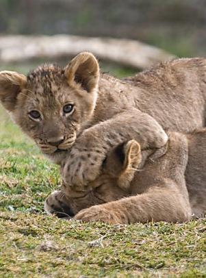lion-cubs01