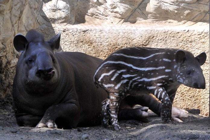 Hada, a budapesti állatkert kéthónapos tapírborja