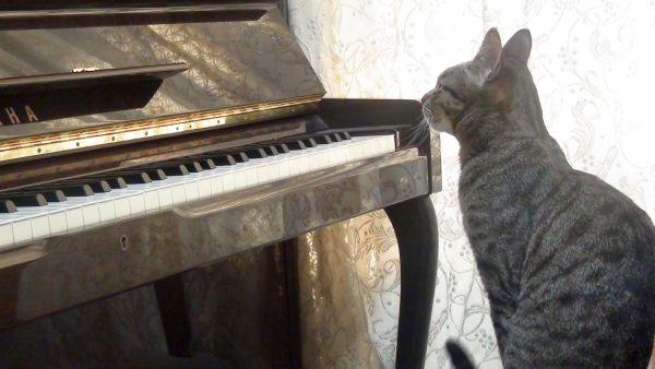 ピアノを見る猫
