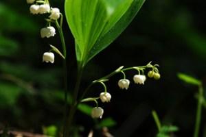 Molecular phylogenetics of Ruscaceae