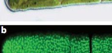 The green alga Penium under white light (top) and labelled with monoclonal antibody
