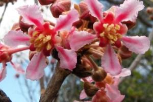 Pollination shift in Neotropical Malpighiaceae